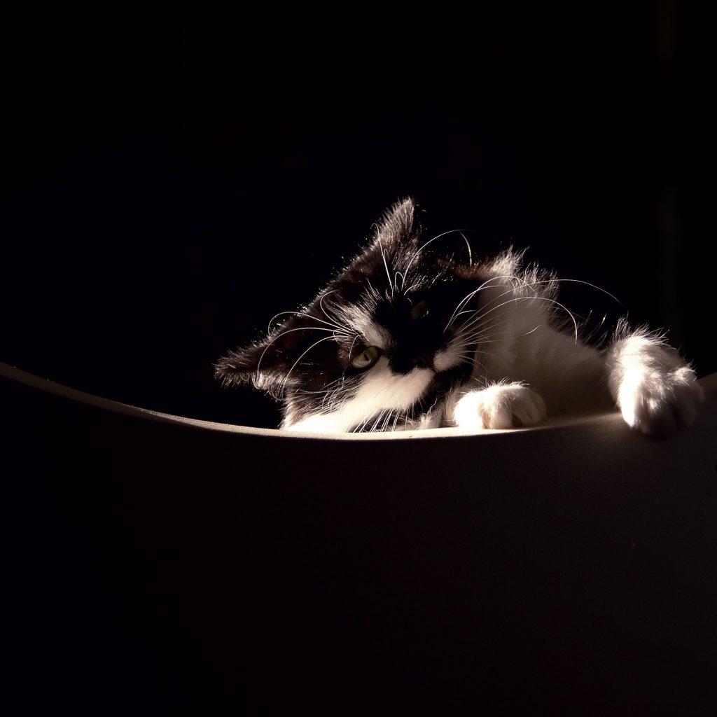 Mulatu - portrait of a cat